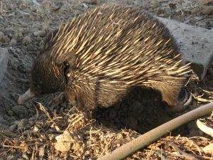 Eric, our resident Echidna.
